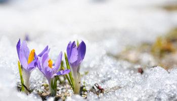 A purple crocus beginning to peek through the snow